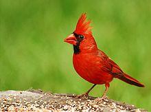 220px-Cardinal